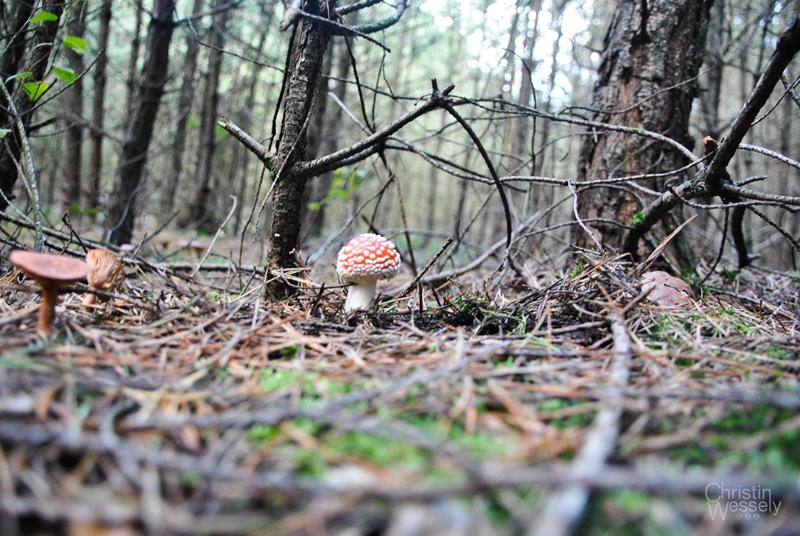 Fliegenpilz_Wald